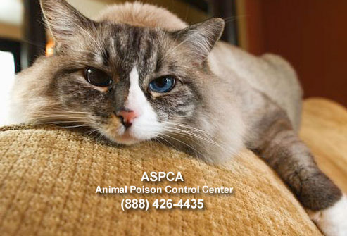 jiu_rf_photo_of_cat_with_aspca_hotline_number